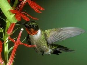 hummingbird_579_600x450